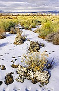Deer Tracks and Rabbitbrush at Mono Lake - Eastern Sierras