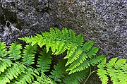 Fern Support - Mount Whitney