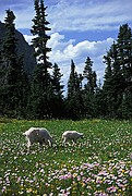 Mountain Goats at Logan Pass - Glacier National Park