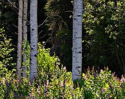 Priest Lake Summer Aspens - Priest Lake