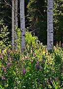 Aspen and Lupine - Priest Lake