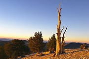 Solo Ridge Bristlecone - White Mountains