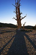 Morning Bristlecone Shadow - Patriarch Grove