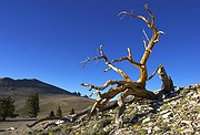 Bristlecone Claws - White Mountains