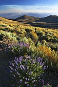High Altitude Lupine - White Mountain