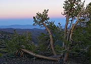 Click to enlarge: Bristlecone Pine Forest - White Mountains