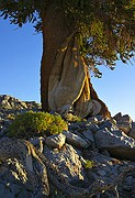 Bristlecone Exposed - White Mountains