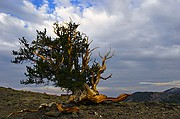 Weathered the Storms - Bristlecone Pines