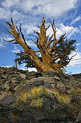 Bristlecone, Cactus, and Storm Clearing - White Mountains